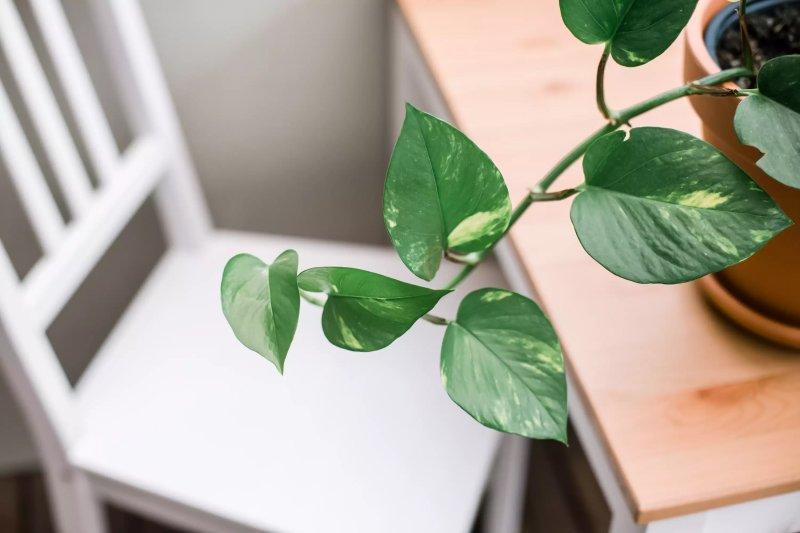 Cách trồng và chăm sóc cây vạn niên thanh leo (trầu bà vàng)