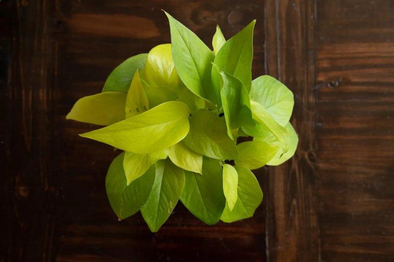 Cách trồng và chăm sóc cây vạn niên thanh leo (trầu bà vàng) cay van nien thanh leo trau ba vang 3