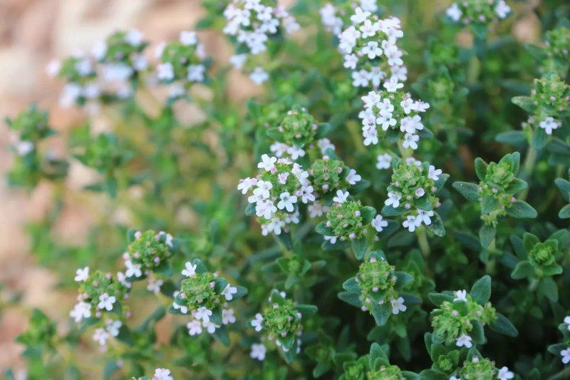 12. Cây cỏ xạ hương - Thyme