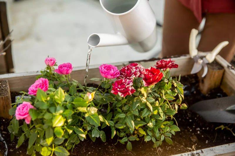 Bình tưới màu trắng đổ nước lên những bông hồng hồng và đỏ và trắng bắn tung tóe trong vườn