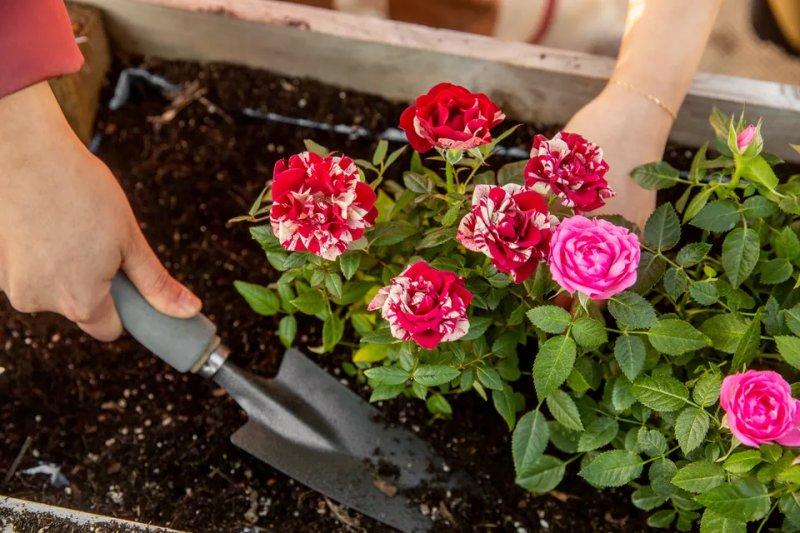 Cách làm đất trồng hoa hồng