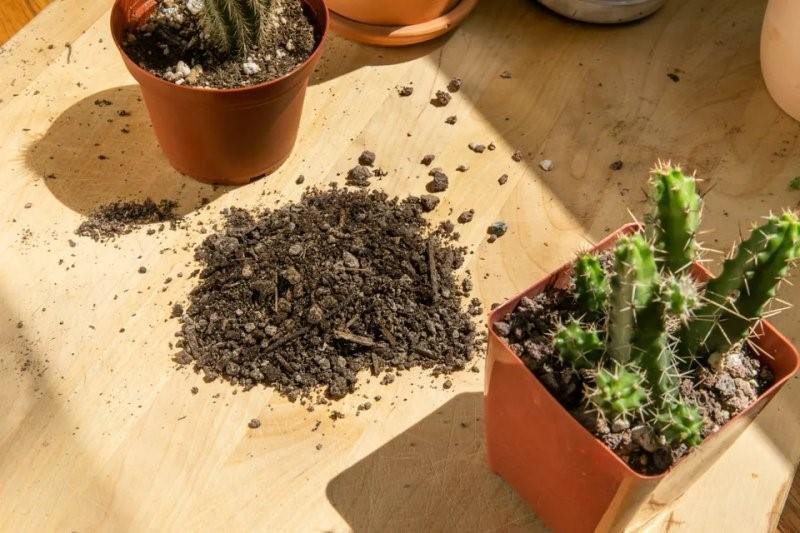Đất trồng xương rồng là gì và khác gì so với đất trồng chậu?