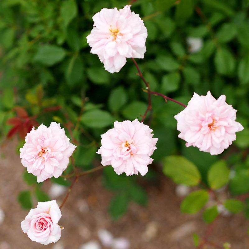 3. Hoa hồng Cécile Brunner - Rosa Cécile Brunner