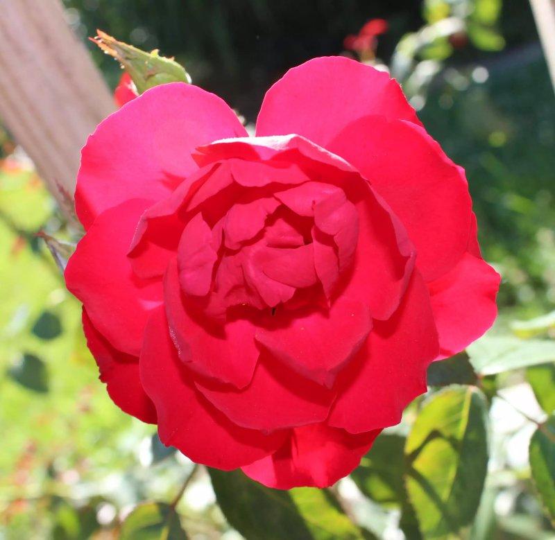 4. Hoa hồng Dublin Bay - Rosa Dublin Bay
