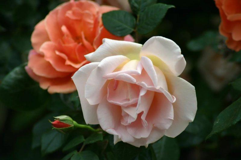 8. Hoa hồng Royal Sunset - Rosa Royal Sunset