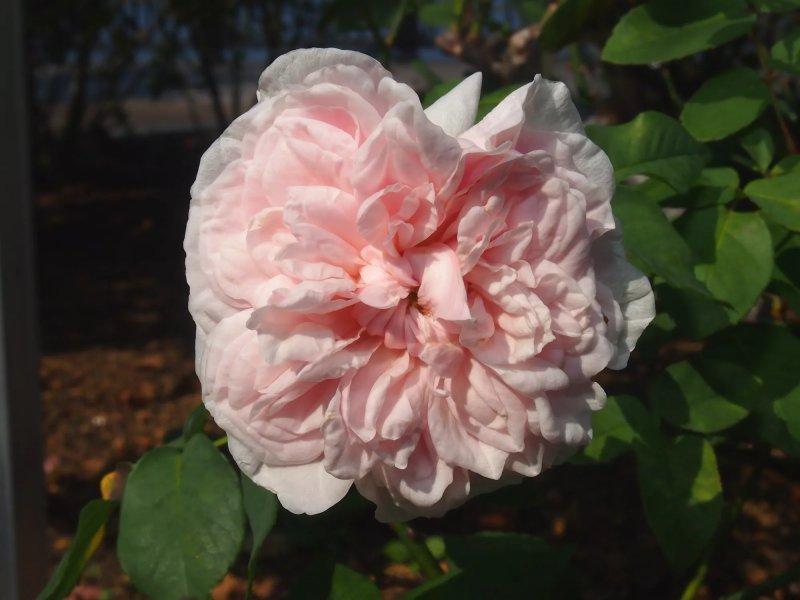 9. Hoa hồng Souvenir de la Malmaison - Rosa Souvenir de la Malmaison
