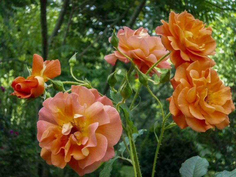 10. Hoa hồng Westerland - Rosa Westerland