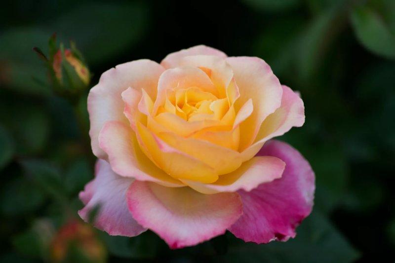 7. Hoa hồng hòa bình - Rosa Peace