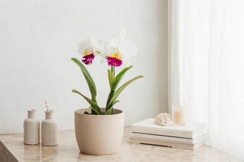 Cách trồng và chăm sóc hoa lan Cattleya