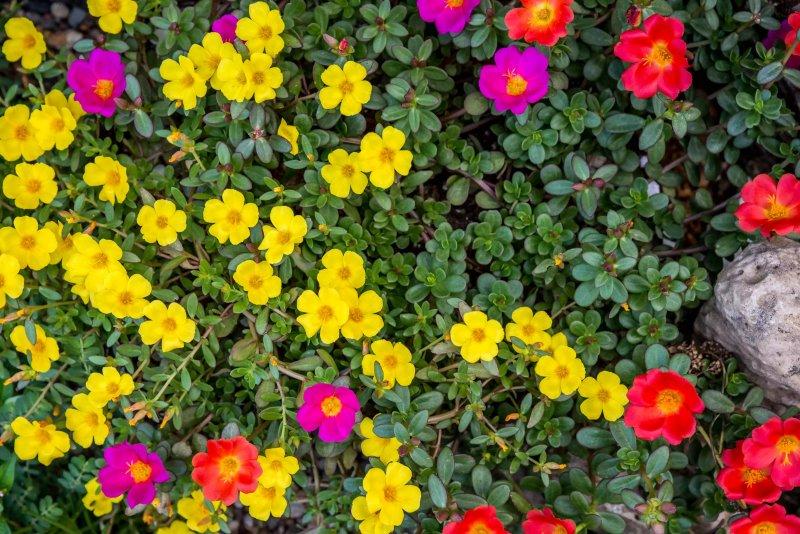 Hình ảnh hoa mười giờ phủ kín mặt đất. The Spruce / Adrienne Legault