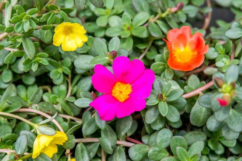 Hình ảnh chụp cận cảnh một bông hoa mười giờ. The Spruce / Adrienne Legault
