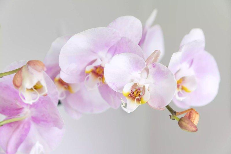 Ảnh chụp cận cảnh những bông hoa của lan hồ điệp. The Spruce / Letícia Almeida