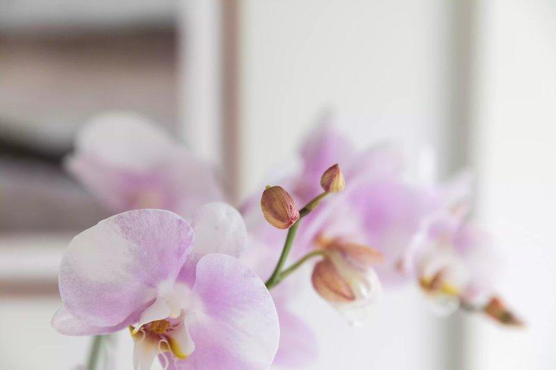 Ảnh chụp một chồi hoa sắp nở của lan hồ điệp. The Spruce / Letícia Almeida