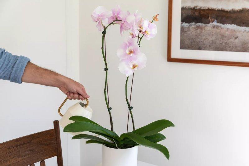 Người tưới nước cho hoa lan. The Spruce / Letícia Almeida