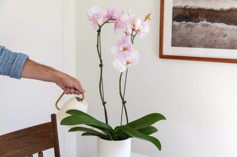 Hình ảnh tưới một cây phong lan. The Spruce / Letícia Almeida