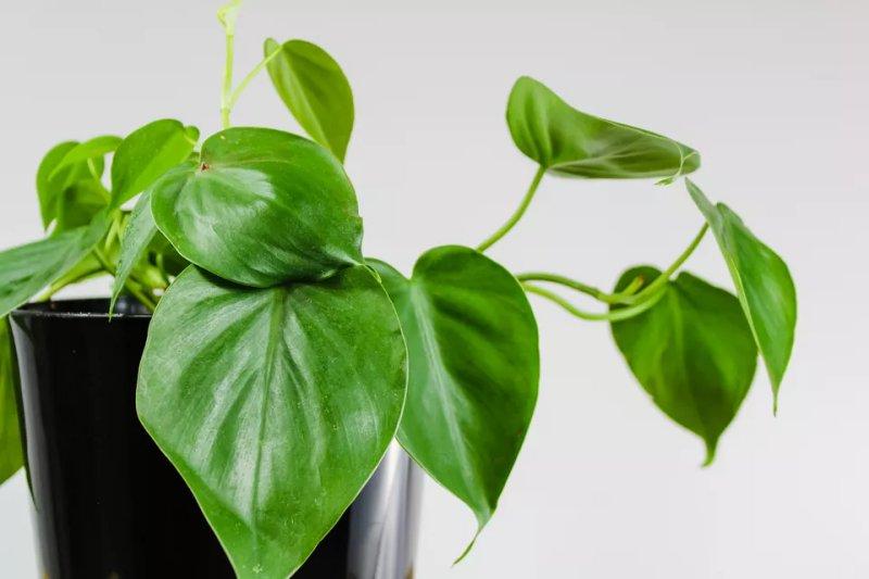 Cách trồng và chăm sóc cây trầu bà lục lăng Heartleaf Philodendron