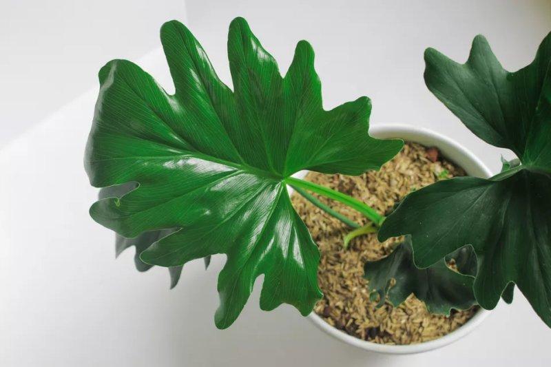 Cách trồng và chăm sóc cây trầu bà thanh xuân Philodendron bipinnatifidum