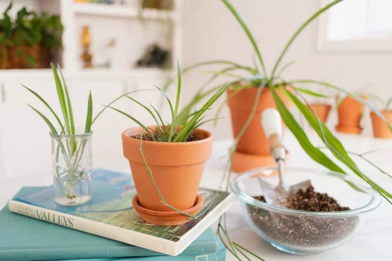 3 Cách nhân giống và trồng cây lan chi hiệu quả