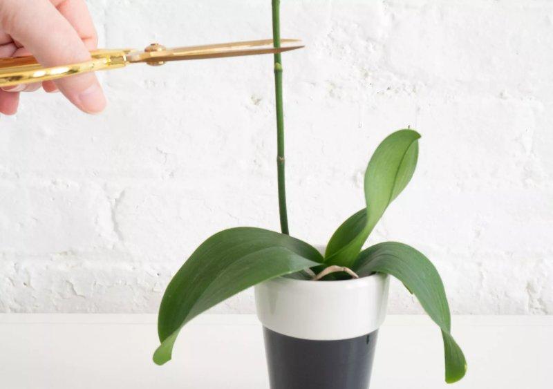 Hình ảnh chuẩn bị cắt một cây phong lan phía trên một node. The Spruce / Alonda Baird