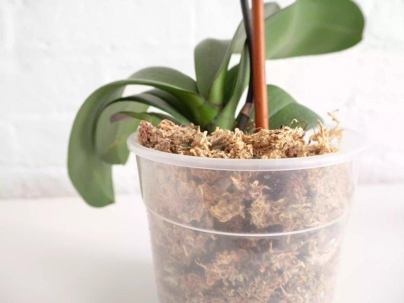 Một cây lan đang được trồng trong giá thể chứa rêu. The Spruce / Alonda Baird
