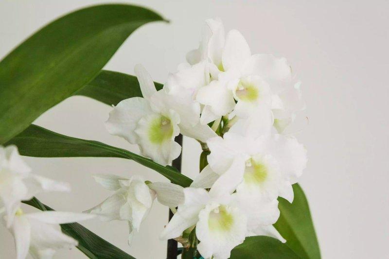 Một cây lan hoàng thảo với những bông hoa màu trắng xanh. The Spruce / Letícia Almeida